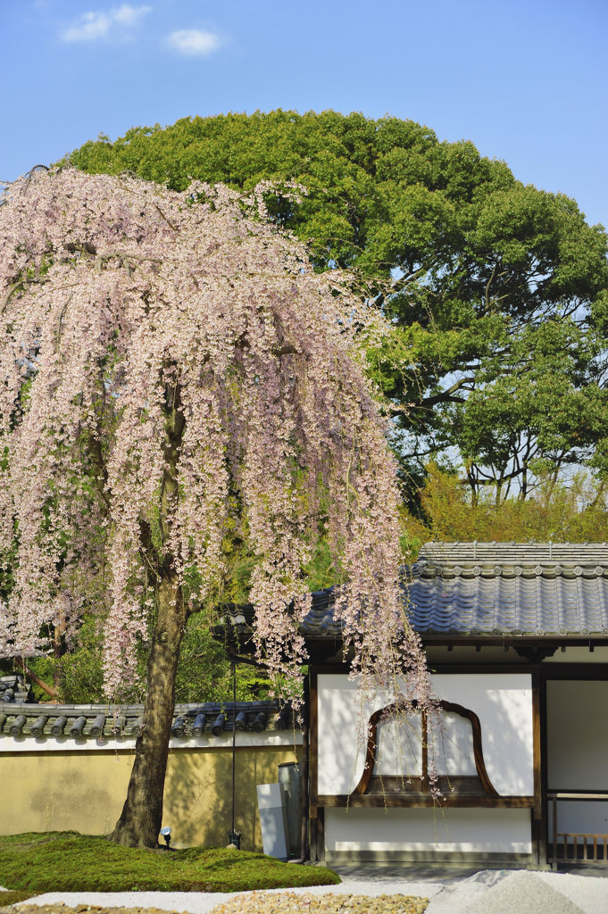 Stock Photo: 160-1794 Cherry blossom tree and temple, Japan
