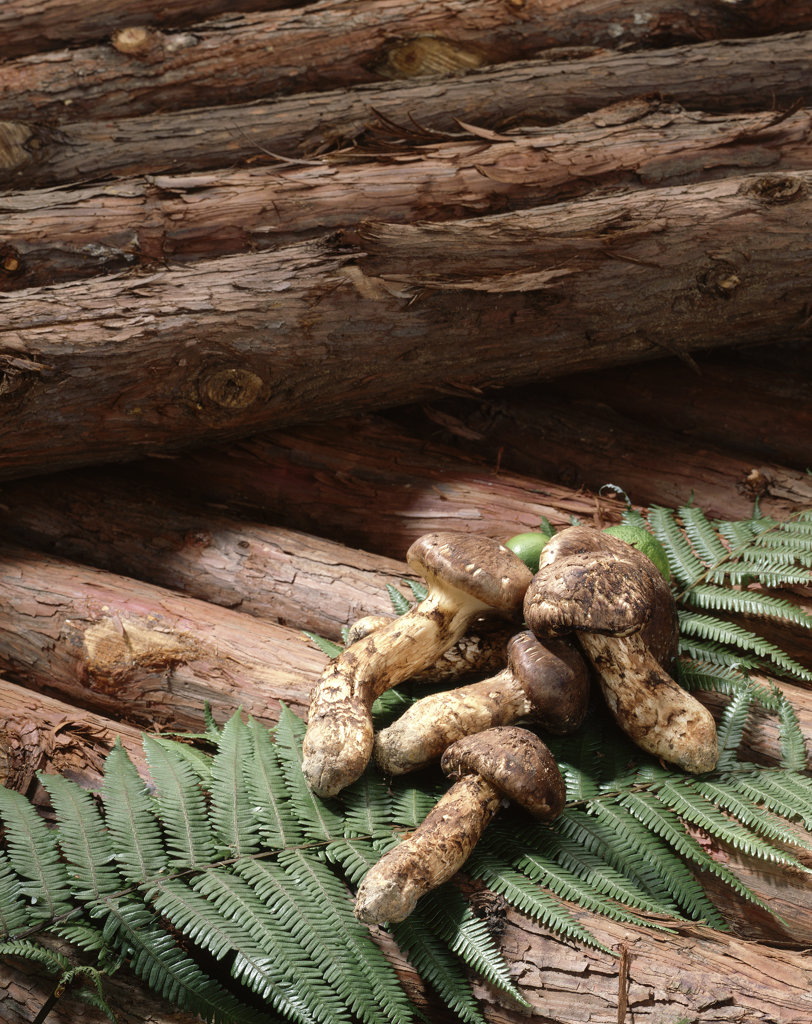 Close-up of Matsutake mushrooms with logs : Stock Photo