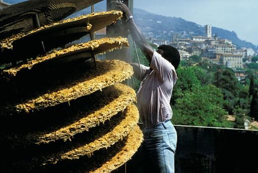 Stock Photo: 1606-10008 06. Mougins, compagnie d'Argeville, roses sur plateaux après la distillation, homme au travail, ville en arrière-plan