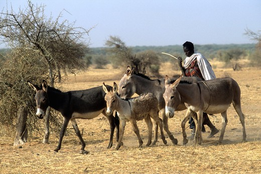 West Africa, Mali, Tombouctou area, nomad : Stock Photo