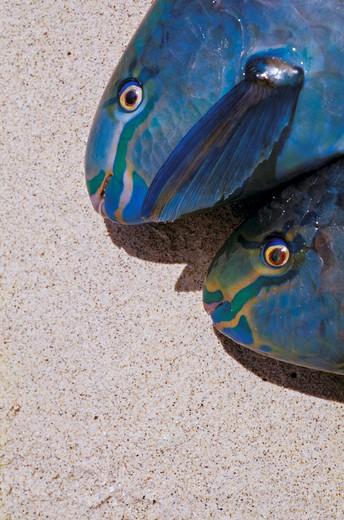Martinique, fish-parrots : Stock Photo