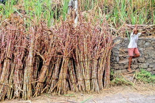 Africa, West Africa, Cape Verde (Cabo Verde), Santo Antao island, Paul valley, sugar cane : Stock Photo