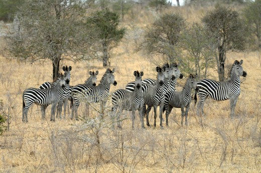 Tanzania, Selous Game Reserve, zebras : Stock Photo