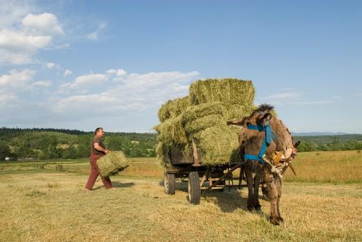 Bulgaria, region of Banja, haymaking : Stock Photo