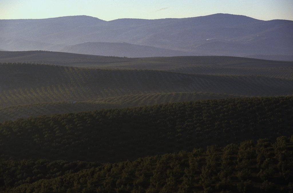 Spain, Andalusia, Baena, olive trees : Stock Photo