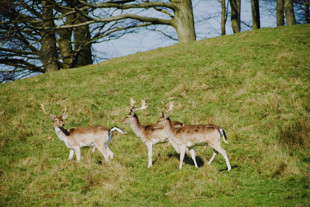 England, Sussex, fallow deers in Petworth Park in winter : Stock Photo
