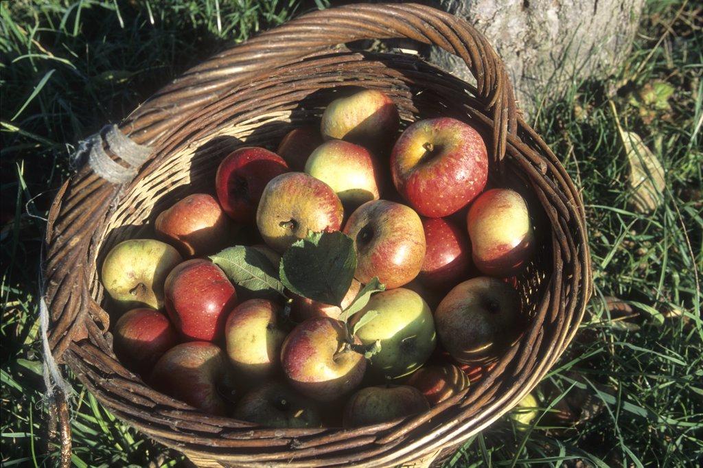 Stock Photo: 1606-106803 France, Haute Normandie, Eure (27),  Marais Vernier (Quillebeuf sur Seine area) apple