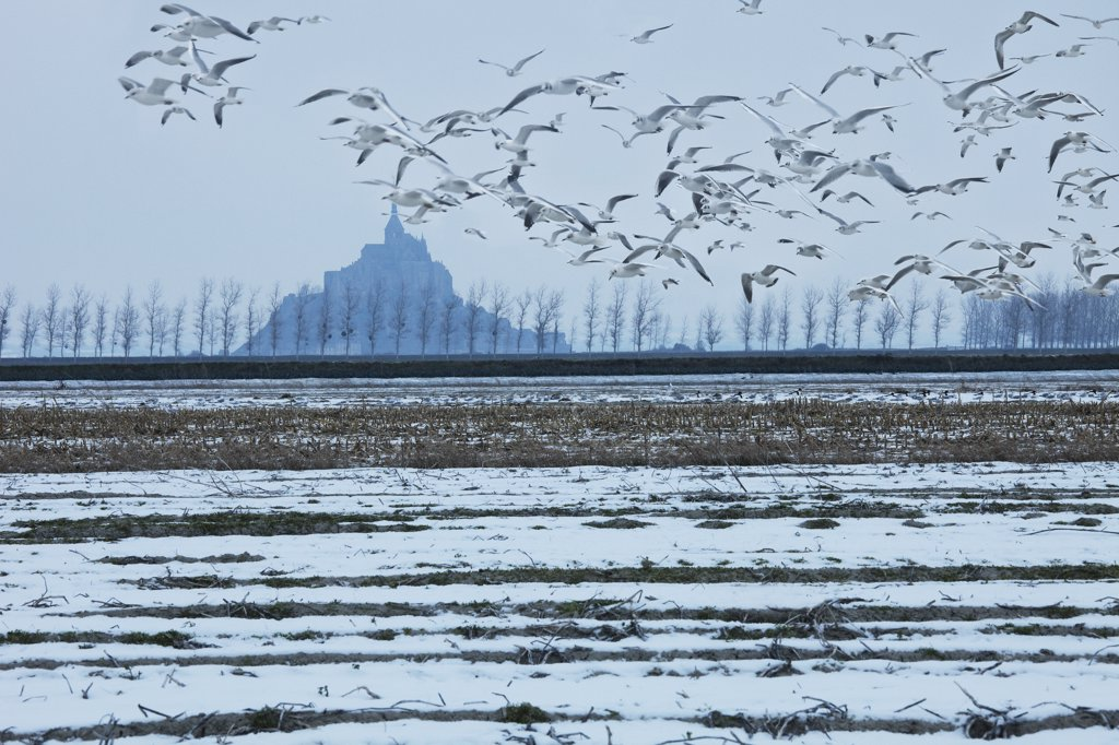 France, Normandy, Manche, Mont Saint Michel in winter, gulls : Stock Photo