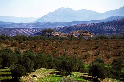 Stock Photo: 1606-107929 Spain, Andalusia, Baena, olive trees