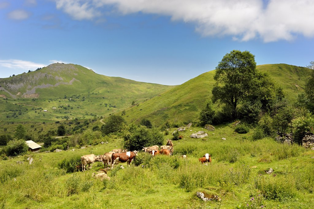 Stock Photo: 1606-109275 France, Pyr?n?es, Val d'Azun, cows