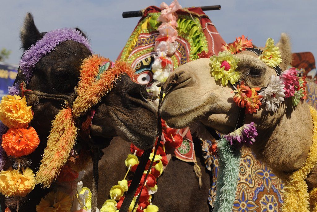 India, Orissa, Puri, dromedary camels : Stock Photo