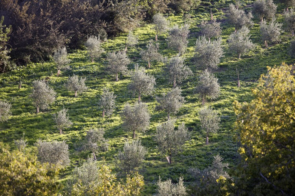 France, Bouches-du-Rh?ne, Montmajour, Olive trees : Stock Photo