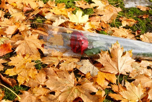 France, Ile de France, Paris, All-souls day in a graveyard Rose & dead leaves : Stock Photo