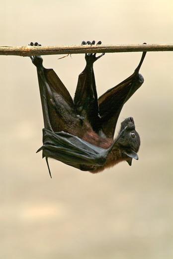 Sri Lanka, bat : Stock Photo