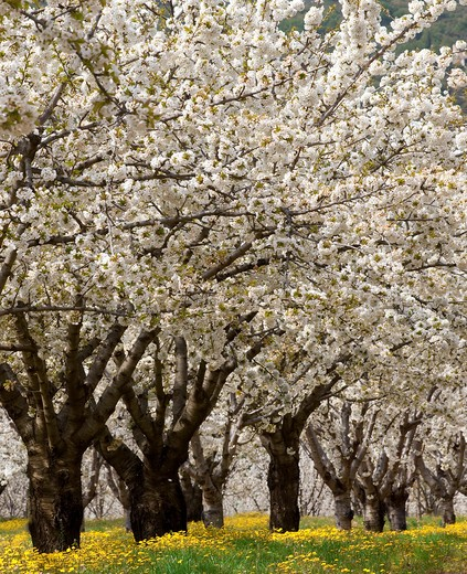 France, Provence, Vaucluse, cherry trees in bloom : Stock Photo