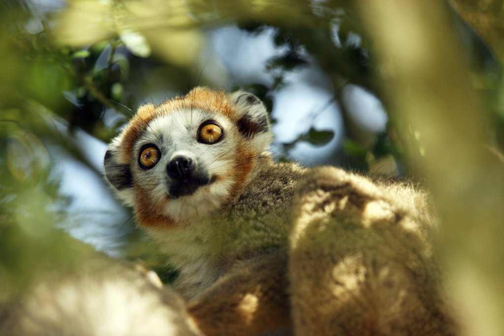 Crowned lemur (eulemur coronatus) : Stock Photo