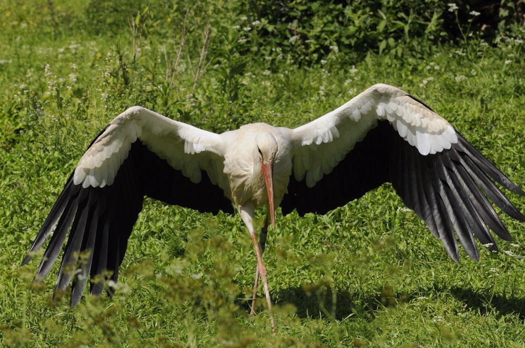 WHITE STORK (CICONIA CICONIA) LANDING, ALSACE, HAUT RHIN, FRANCE : Stock Photo