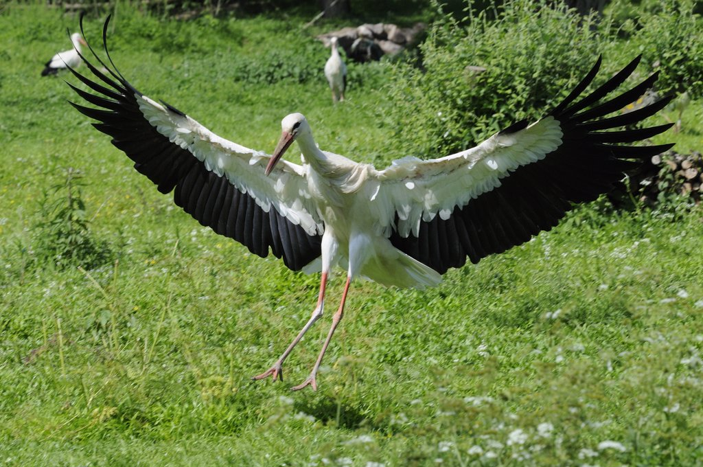 Stock Photo: 1606-115304 WHITE STORK (CICONIA CICONIA) LANDING, ALSACE, HAUT RHIN, FRANCE