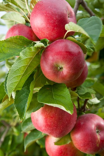 Stock Photo: 1606-116601 Red apples