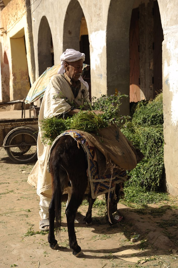 Algeria, Ouargla, man loading donkey with plants : Stock Photo