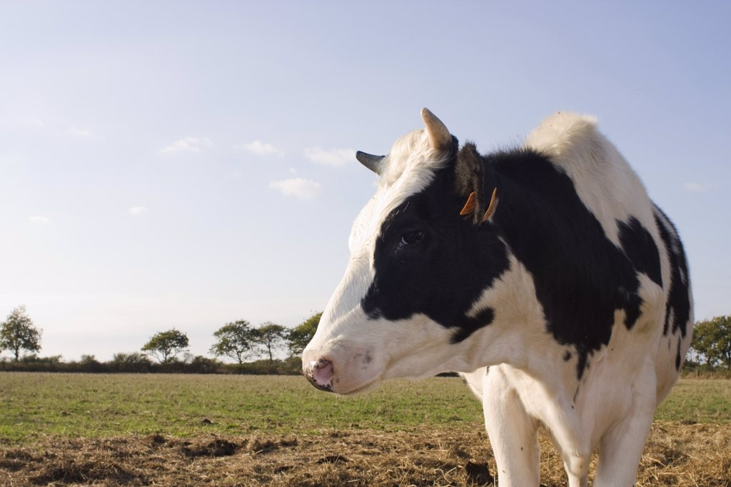 France, Pays de la Loire, Loire-Atlantique, Bourgneuf-en-Retz, cow : Stock Photo