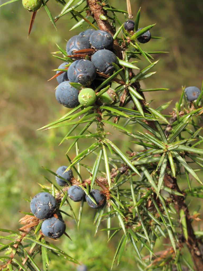 Common juniper (Juniperus communis) : Stock Photo