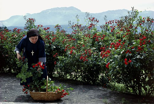 France, Rhône-Alpes, Isère, Voiron, visitandine nun cutting roses : Stock Photo