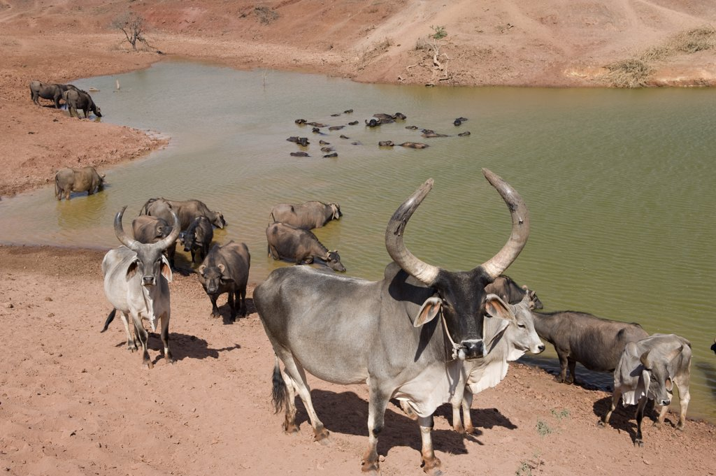 Stock Photo: 1606-125033 India, Gujarat, Kutch, cattle at water point
