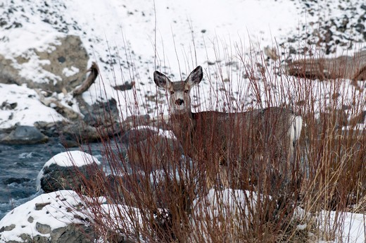 Mule deer (Odocoileus hemionus), doe : Stock Photo