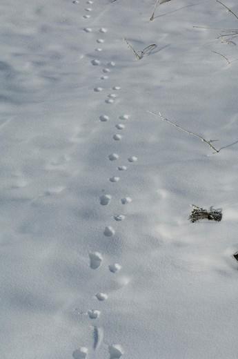 White-tailed Jackrabbit tracks in snow (Lepus townsendii) : Stock Photo