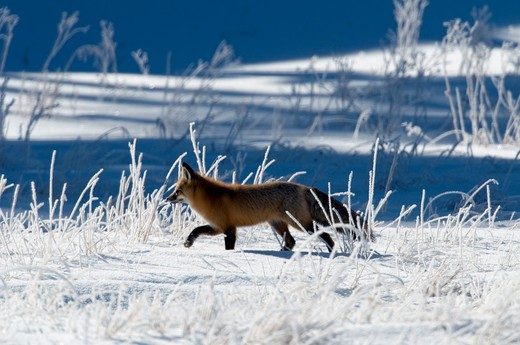 Stock Photo: 1606-126977 Red fox (Vulpes vulpes)