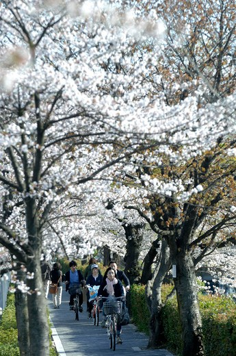 Stock Photo: 1606-132195 Japan, Kyoto, Philosopher's Walk, cherry trees in bloom