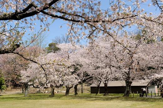 Japan, Kyoto, Nijo castle gardens, cherry trees in bloom : Stock Photo