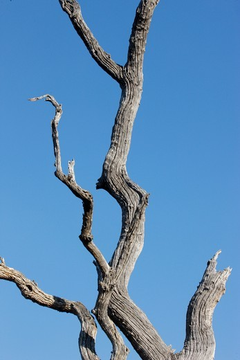 South Africa, North West Province, Madikwe. Dead tree. South Africa. : Stock Photo