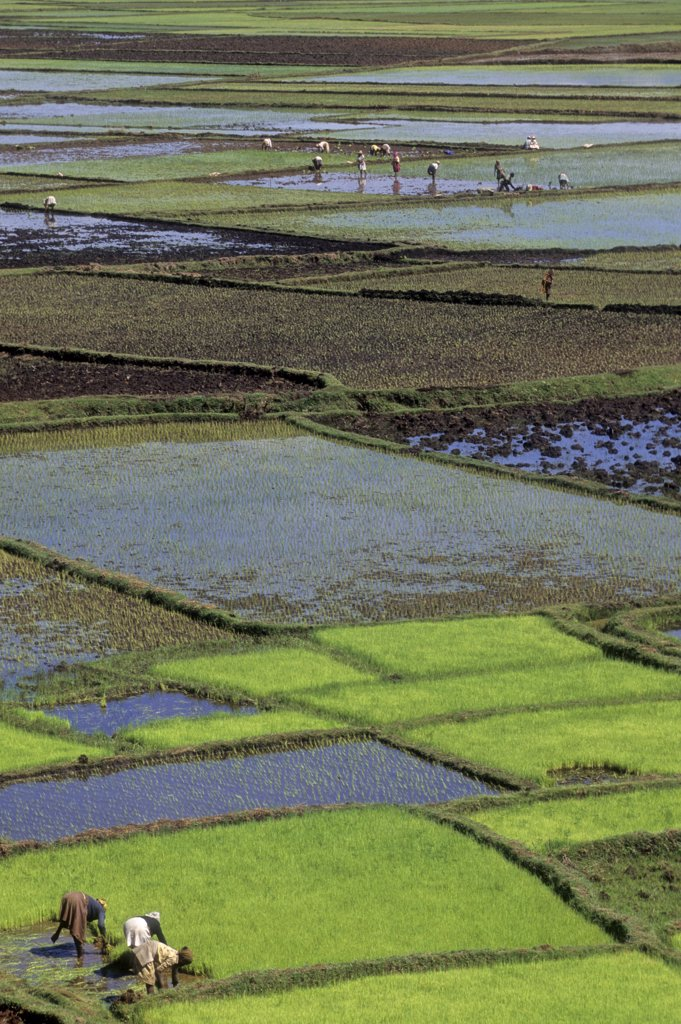 Stock Photo: 1606-140287 Africa, East Africa, Madagascar island, rice field near Antsirabe