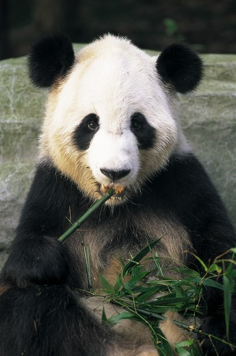 Stock Photo: 1606-140956 China, Sichuan Province, Chengdu, Giant Panda Eating Bamboo at the Panda Breeding Centre