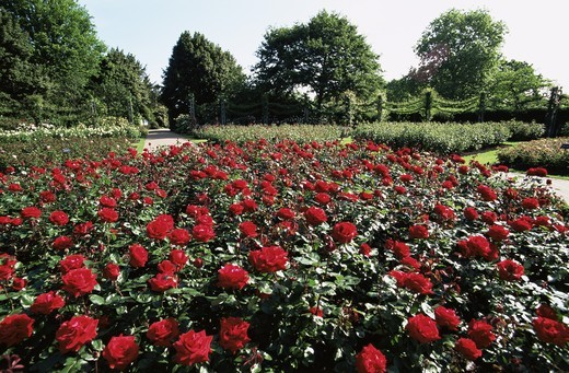England,London,Regents Park,Queen Mary's Gardens,Rose Gardens : Stock Photo