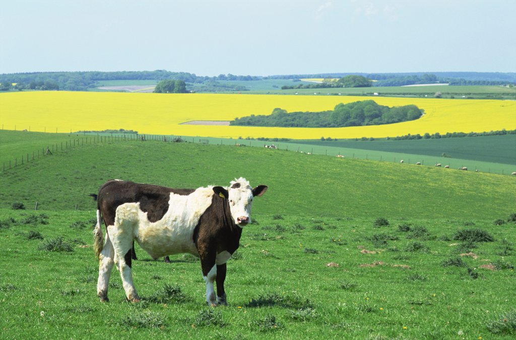 England,Wiltshire,Cows in Fields : Stock Photo