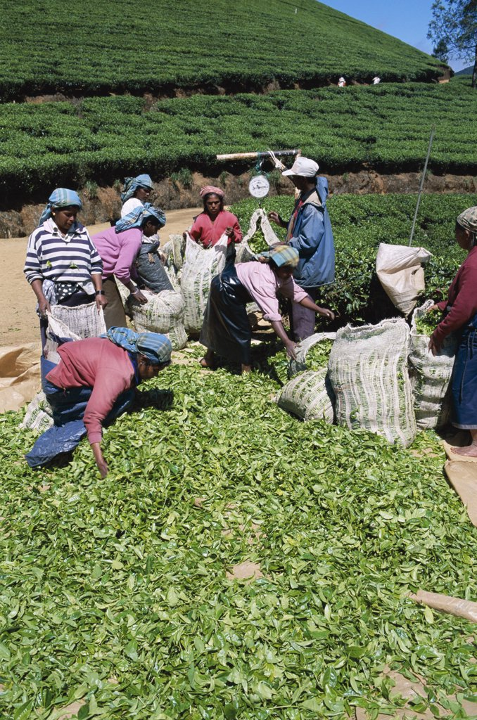Sri Lanka, Nuwara Eliya, Tea Fields / Tea Weighing : Stock Photo