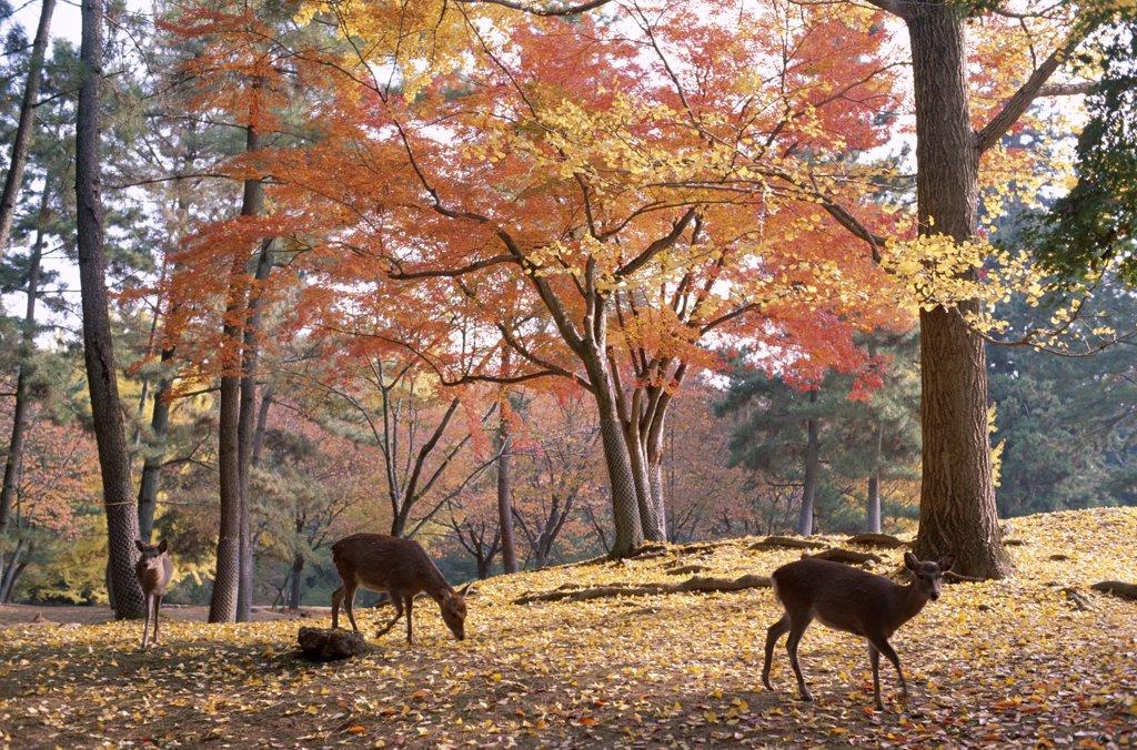 Japan, Honshu, Nara, Nara Park / Deer & Autumn Leaves : Stock Photo