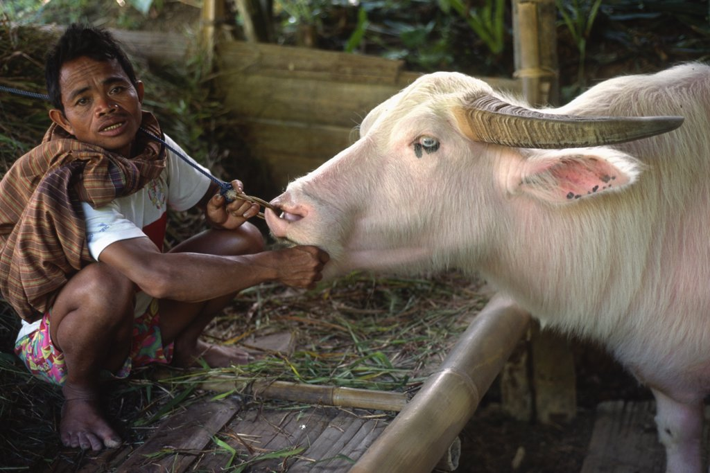 Indonesia, Sulawesi, Tanatoraja, white buffalo, keeper, : Stock Photo