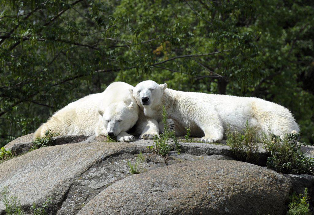 Europe, Germany, Artic Polar Bear in the Berlin zoo : Stock Photo