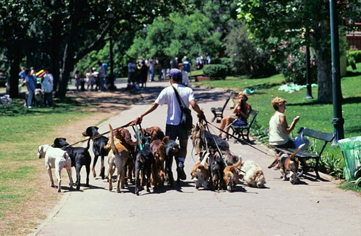 Argentina, Buenos Aires, man walking in park with several dogs : Stock Photo