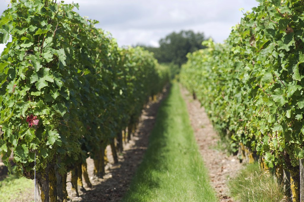 Stock Photo: 1606-170704 Path of wine in a field, Saumur, Maine et Loire, Pays de la Loire, France