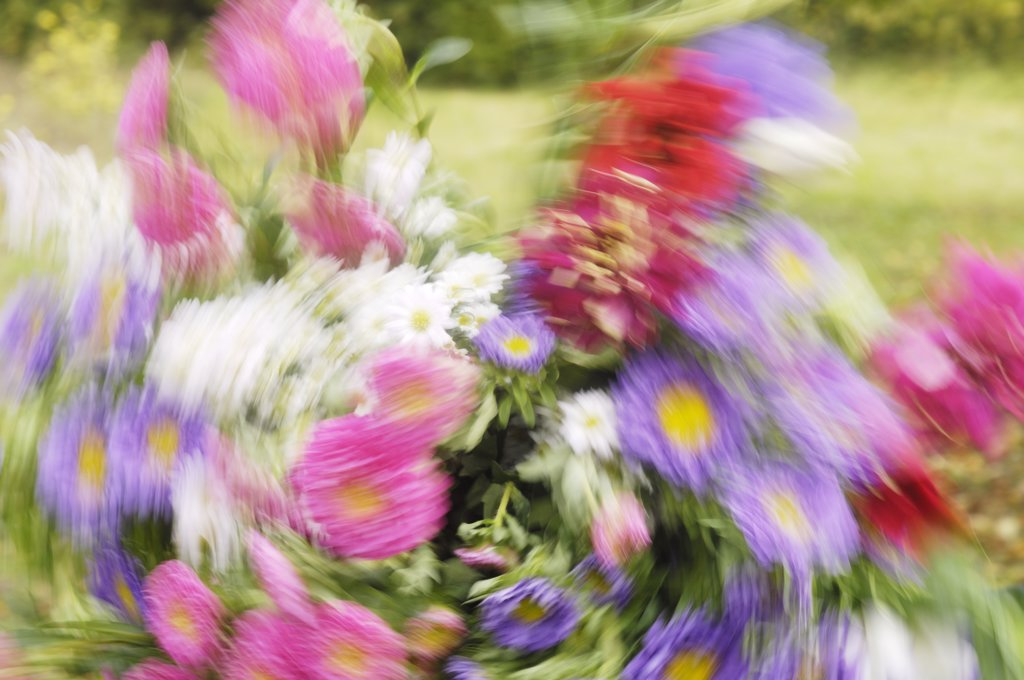 Stock Photo: 1606-171492 Pink and mauve bouquet in movement, blurred