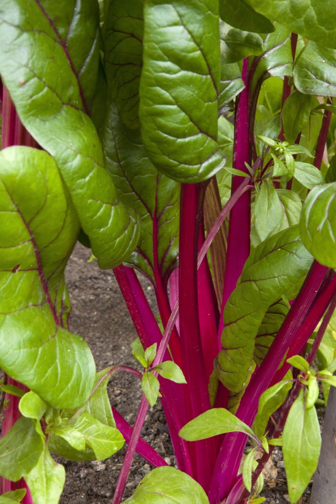 Stock Photo: 1606-171743 Swiss chard Rosa