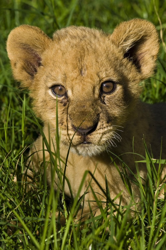 Africa, Zimbabwe, Midlands province, Antelope Park, African Lion Environment and Research Trust (ALERT), baby lion (Leo Panthera) : Stock Photo