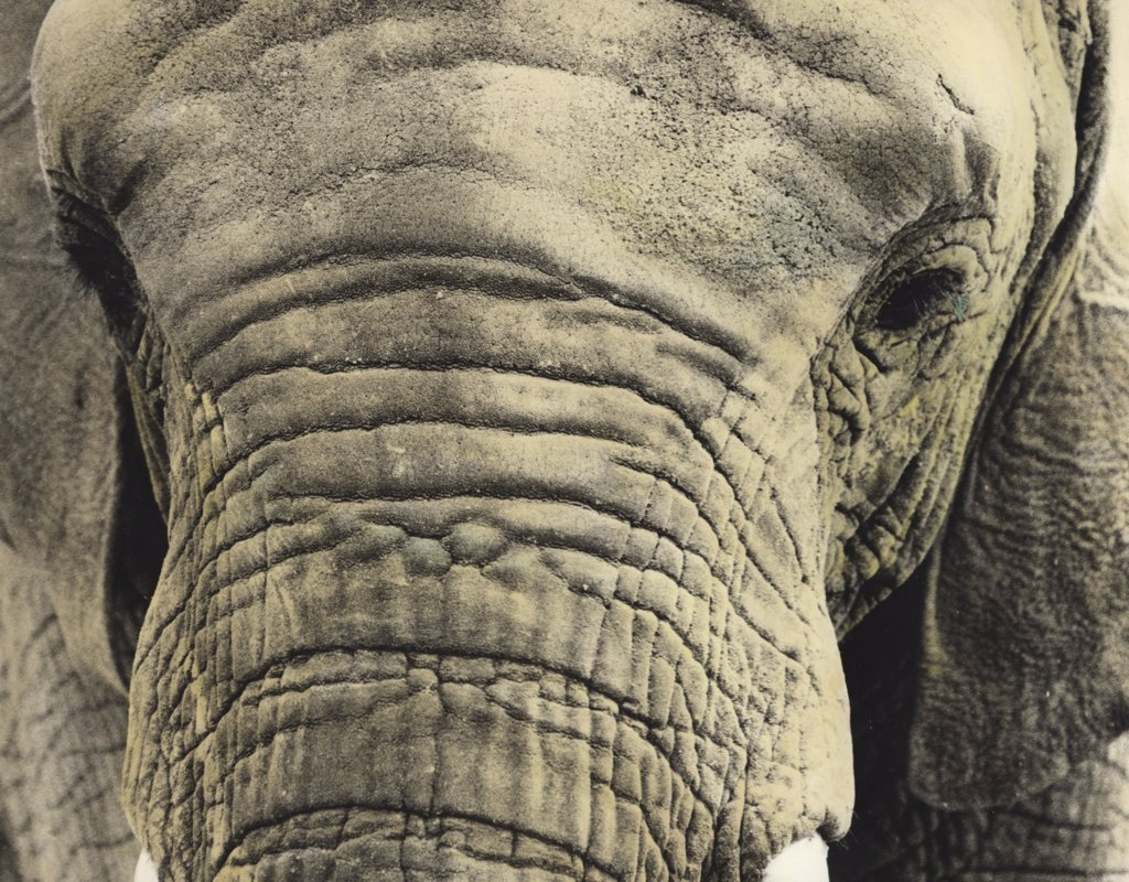 Painted photograph, close-up portrait  of an elephant on photographic barite paper : Stock Photo