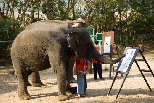Stock Photo: 1606-173942 Thailand,Chiang Mai,Elephant Camp,Elephant Show,Elephant Painting