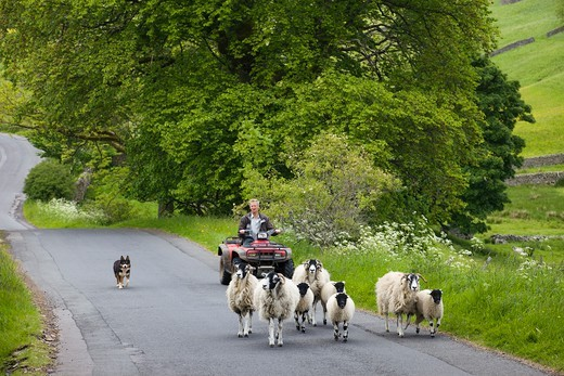 England,Yorkshire,Yorkshire Dales,Swaledale,Farmer and Sheep : Stock Photo